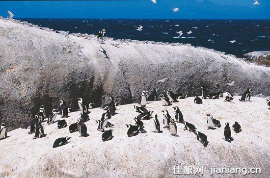 非洲企鹅已被列入濒危动物名录