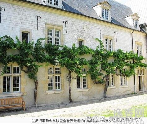 寻找全球最古老的白葡萄藤