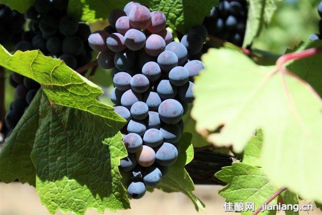 5款葡萄品种的有趣自述