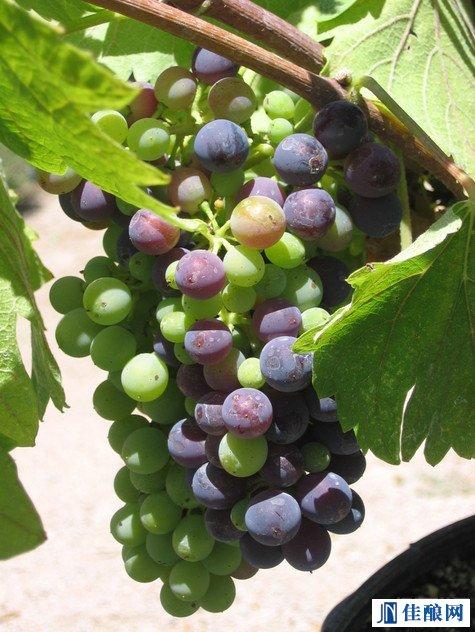 同是葡萄酒,美法缘何大不同?