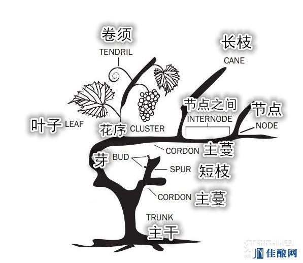 原来一棵葡萄树是这样组成的