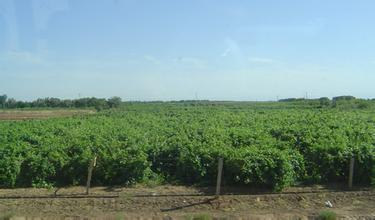 吐鲁番打造百亿元葡萄及葡萄酒产业