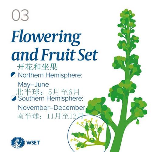 从萌芽到冬眠,葡萄藤一年里都经历了什么?