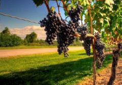 漫步葡萄酒乡体验另类旅游