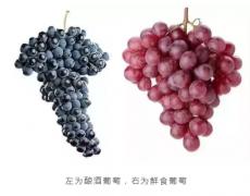 为什么葡萄如此美味 酿成酒后却又苦又涩