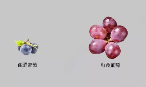你知道酿酒葡萄与鲜食葡萄的区别吗?