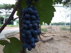 走进昌黎葡萄酒产业聚集区